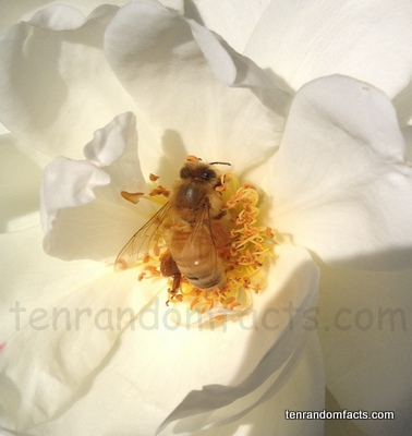 Honey Bee, Ten Random Facts, Flower, Pollen, Insect