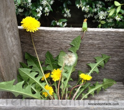 Yellow dandelions, weeds, Ten Random Facts
