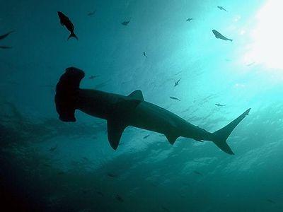 Hammerhead shark Silloutte, Fish, Ocean, Sea, Ten Random Facts, Free Stock Photos