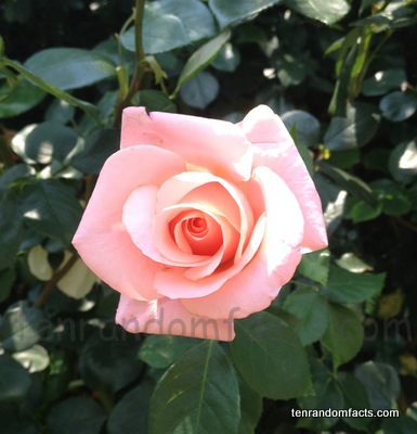 Climbing Pink Rose, Ten Random Facts