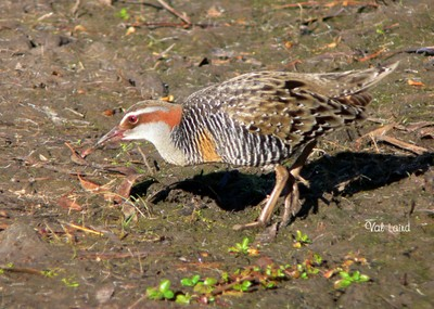 Buff Banded Rail, Banded Landrail, Bird, Val Laird Designs, Ten Random Facts
