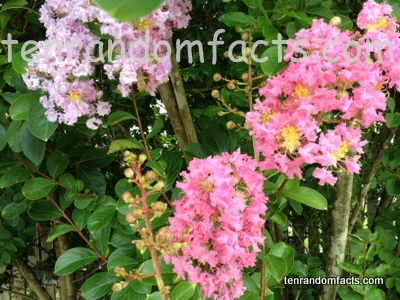 Crepe Myrtle, Pink and White Flowers, Branches, Tree, Small, Ten Random Facts, Australia