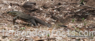 Lace Monitar, Goanna, Lizard, Queensland, Australia, Ten Random Facts, Janowen Hills 4WD Park