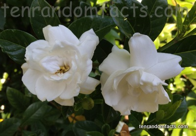 Gardenia ten random facts gardenia australia white flowers pretty garden ten random facts mightylinksfo