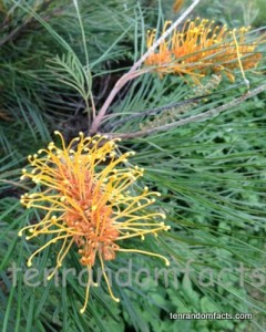 Grevillea ten random facts grevillia orange yellow brush flowers quensland australia ten random mightylinksfo