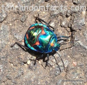 Jewel Bug, Armor, Metallic, Orange, Red, Blue, Green, Australia, Queensland, Ten Random Facts