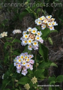 Lantana, White, Flowers, Weed, Queensland. Australia, Ten Random Facts, Many