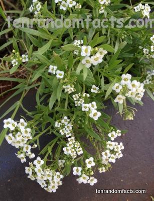 Alyssum White Flower Plant Australia Ten Random Facts