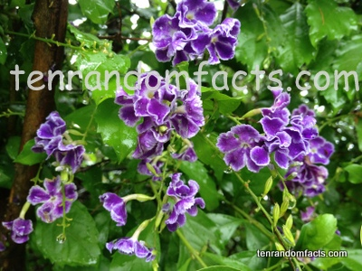 Duranta, Purple Violet Flowers, Small, Tree, Bush, Bloom, Pretty, Australia, Ten Random Facts