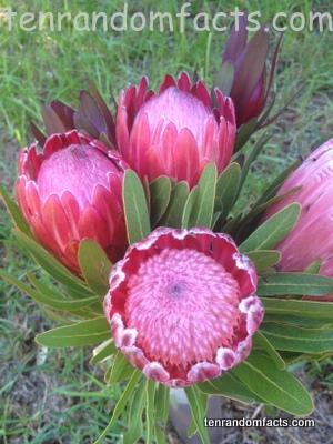 Protea, Vase, Three, Bunch, Red, Pink, Sugarbush, Flower, Australia, Ten Random Facts