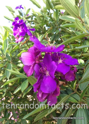 Glory Bush, Purple, Plowers, Green, Tree, Australia, Tibouchina, Ten Random Facts