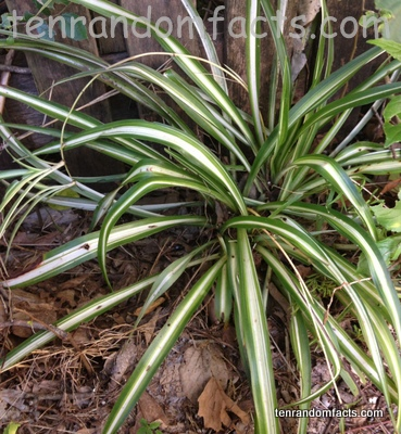 Spider, Plant, Green, White Central Stripe, Australia, Ten Random Facts