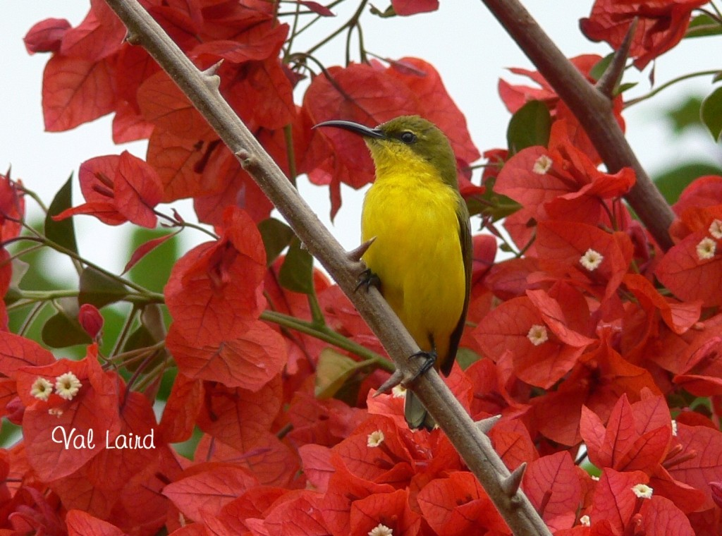 Yellow-bellied sunbird, Yellow, green, female, red, flowers, background, bird, small, cute, Val Laird, Ten Random Facts