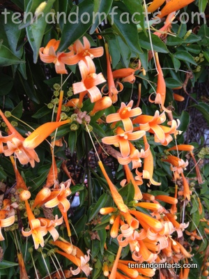 Orange Trumpet Creeper, Flame, Orange, Vine, Plant, Flower, Vegetation, Pretty Beautiful, Ten Random Facts, Australia.