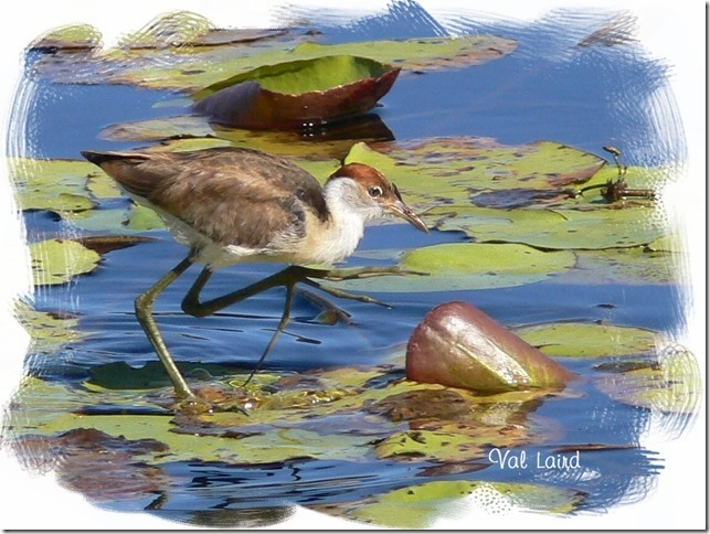 Jacana, Water, Ten Random Facts