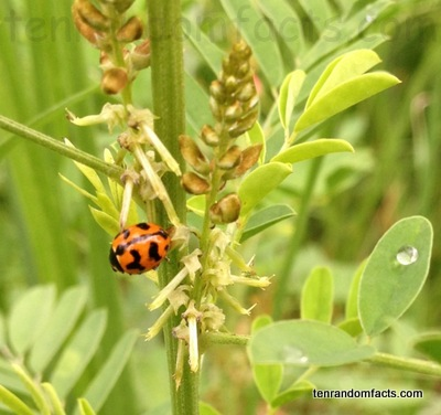 Lady bird, orange, spot, wonky, black, plant, stalk, green ,background, leave, plant, vegetation, small, one, little, Australia, Ten Random Facts, dangle, eat, splode, blade, grass, animal,insect, beetle