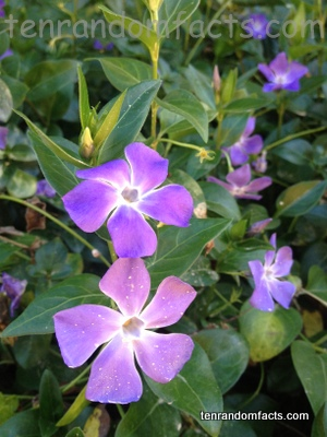 Greater Periwinkle, Purple Flower, Multiple, Two, Bush, Violet, Lavendar, Colour, Austalia, Flower, Vegetation, Ten Random Facts