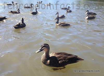 Pacific black ducks, Brown, lake, swimming, group, adult, water, lake, Ten Random Facts