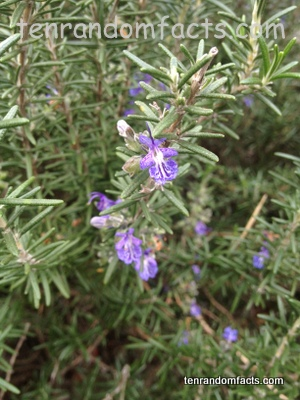 Rosemary, Flower, Purple, Ten Random Facts< Australia, Plant, Herb,