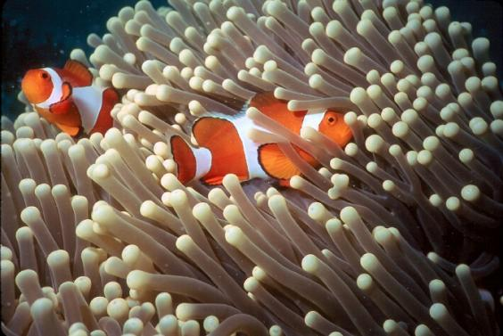 Clownfish, Anemonefish, Anemone Orange, White, Black, Colour, Malaysia, two, Ten Random Facts, Coral Reef Alliance