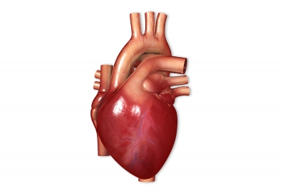 Human Heart, Graphic, 3D, Computer generated, aorta, Ten Random Facts, Free Digital Photos