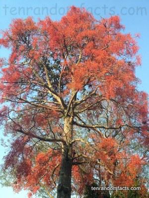illawarre flame tree, Red, Flowers, Australia, Bright, Tall, Large, Ten Random Facts