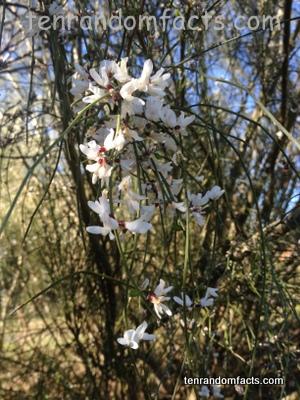White weeping broom, white, flowers, drooping, weeping, Australia, weed, pest, Ten Random Facts