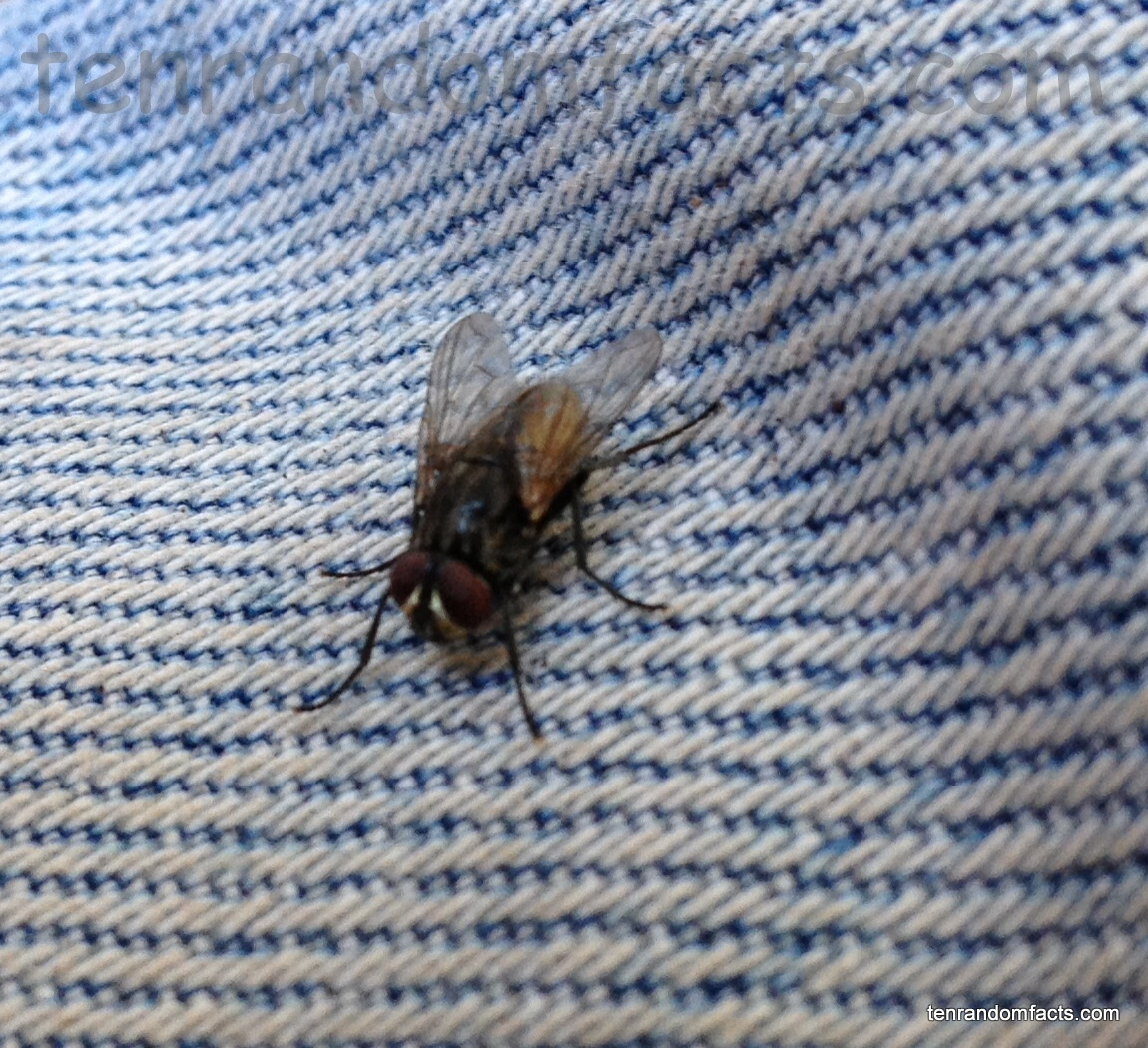 Housefly, Small, Insect, Fly, Sitting, Jeans, Pants, Ten Random Facts, Australia