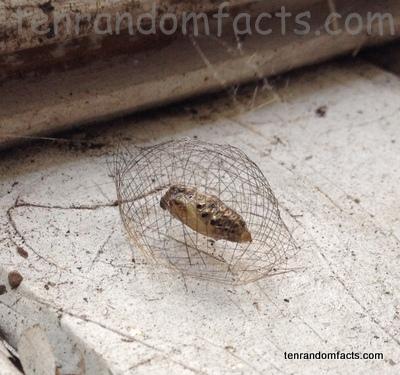 Cyana Mericki Cacoon, Pupa, Mesh cage, bug, Moth, Ten Random Facts, Australia