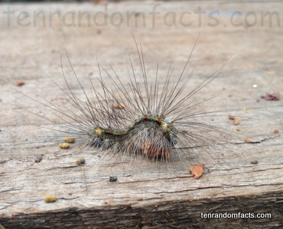 Cyana Meyricki Caterpillar, Hairy, Wedge, Wood, Moving, One, Ten Random Facts, Bug, Animal