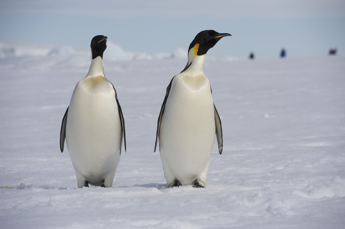 Emperor Penguin, White, Black, Two, Pair, Antarctica, Cold, Ten Random Facts, National Geographic