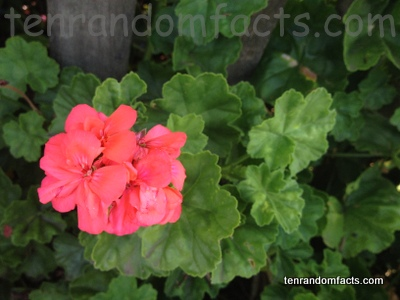 Pelargonium, Flower, Red, Pink, Stalksbills, Cluster, Leaves, Fence, Plant, Ten Random Facts, Australia