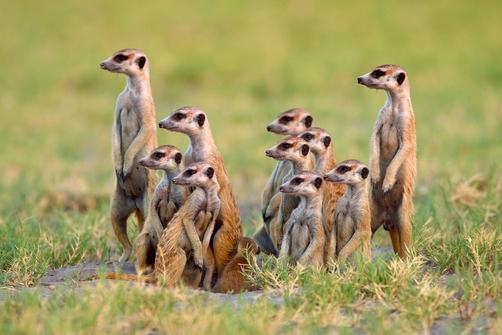 Meerkat - Ten Random Facts