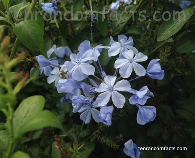 Blue plumbago ten random facts for Blue flowering bush