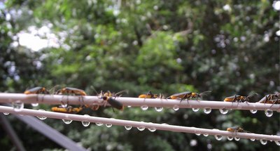 Plague Soldier Beetles, Line, Washing, Orange, Black, Yellow, Ten Random Facts, Bug, Adult, Many