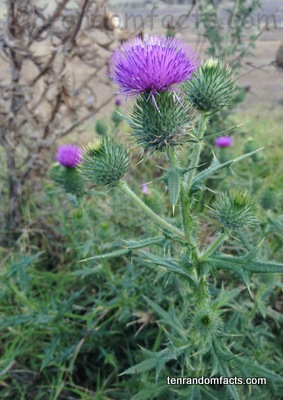 Spear Thistle, Green, Purple, Pink, Flower, Dead, Green, Ten Random Facts, Australia, Plant, Weed, Spiky, Prickly,