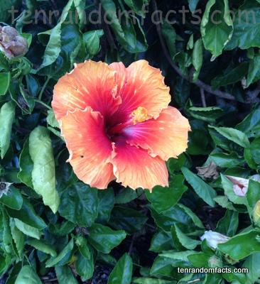Hibiscus Ten Random Facts