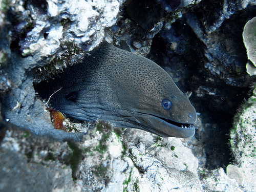 Moray Eel, Hiding, Rocks, Ko Lanta, November 2010, Ten Random Facts, Marine, Underwater, Flickr