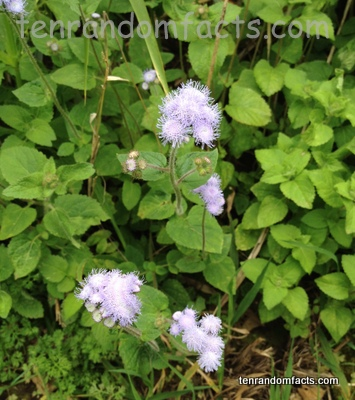 Blue billygoat weed, Purple, Flower, Ten Random Facts, Plant, Vegetation, Weed