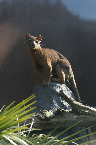 fossa ten random facts