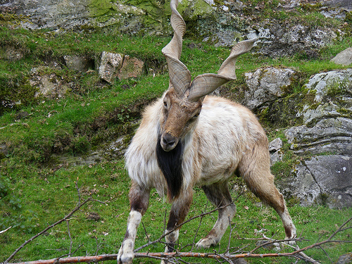 Markhor, Goat, Animal, Mammal, Mountain, Male, Ten Random Facts, Flickr, Horns, Beard