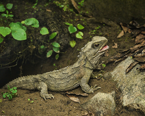 Tuatara, Lizard, Animal, Reptile, Ten Random Facts, Flickr, New Zealand,  endangered, threatened