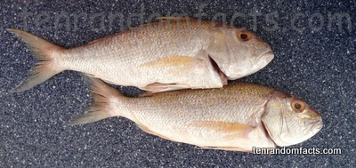 Australasian Snapper, Animal, Fish, Cut, Dead, Food, Two, Pink, Ten Random Facts, New Year, Seafood, Culinary, Australia