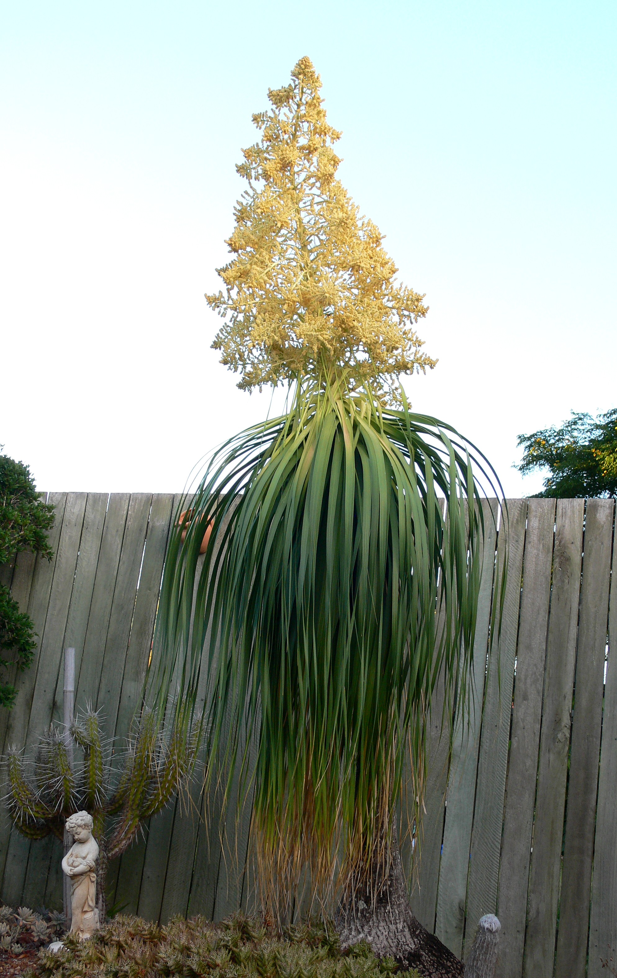Ponytail Palm Ten Random Facts