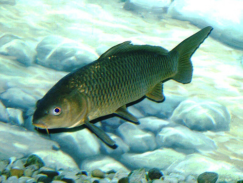 Common Barbel, Green, Yellow, Tank, Pebble, Ten Random Facts, Fish, Animal, Barbus