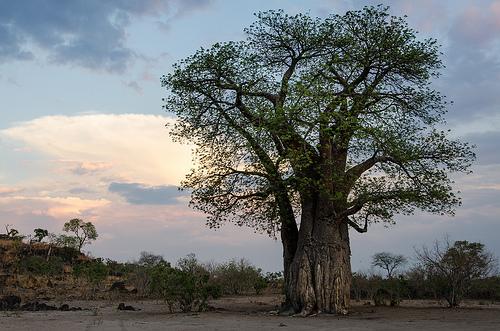 African Baobab, Leaves, Trunk, Africa, Tree, Vegetation, Scene, Flickr, Ten Random Facts