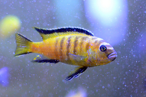 Cichlid, Fish, ANimal, Sea, Single, Yellow, Ten Random Facts, Trivia, Striped, African