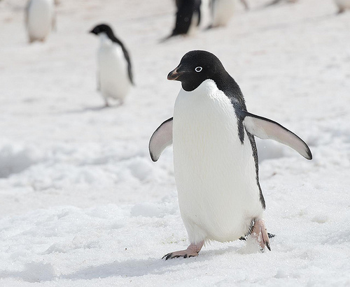Adélie Penguin, Animal, Bird, Trivia, Ten Random Facts, Antarctica