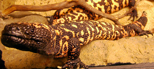 Gila Monster, Reptile, America, Orange, Animal, Trivia, Ten Random Facts, Flickr
