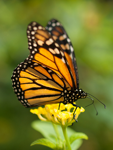 Monarch Butterfly, Trivia, Ten Random Facts, Orange, Insect, Animal, Resting, Flower